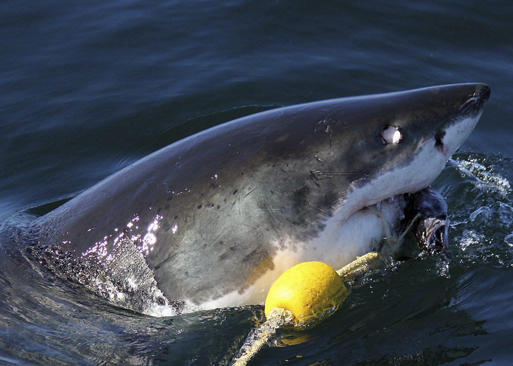 squali bianchi in sud africa